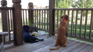Buddy & Cooper on the deck.