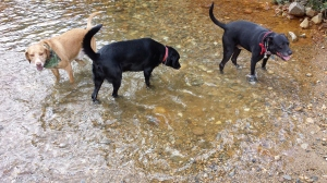 The dogs loved the opportunity to cool off in the river. From left to right: Cooper (mine), Lillie (my parents' pooch), and Buddy (mine).